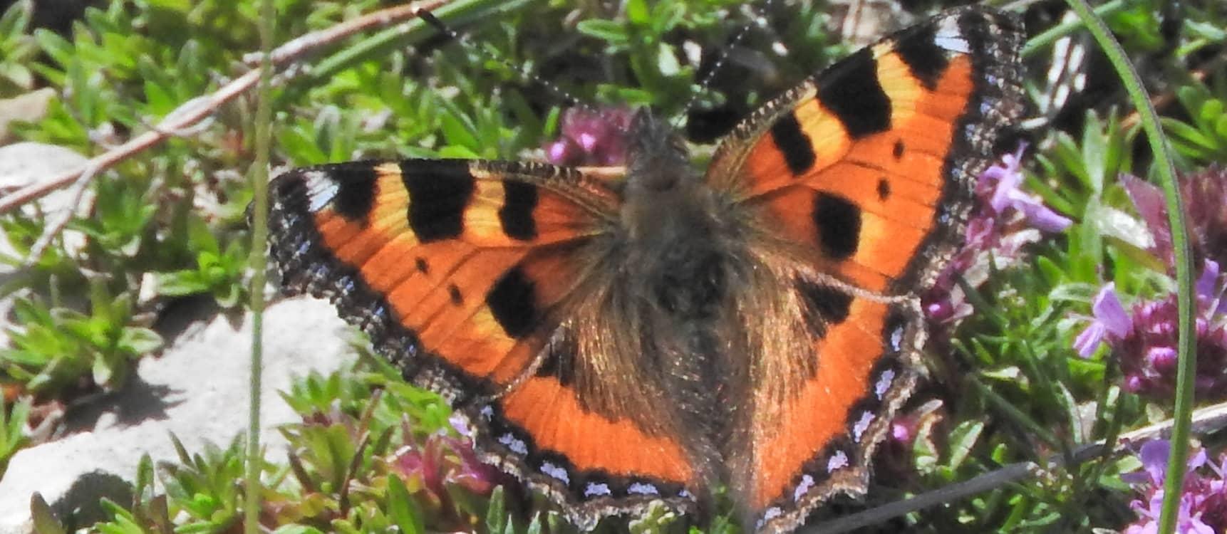 Nymphalidae Nymphalinae Aglais urticae Petite Tortue 20160624 JPM