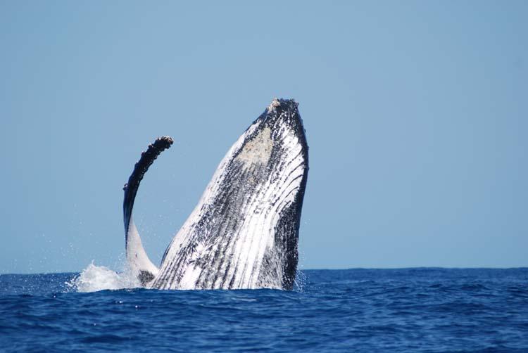 Baleine Photo © Mn_O.VanCanneyt_SteMarie