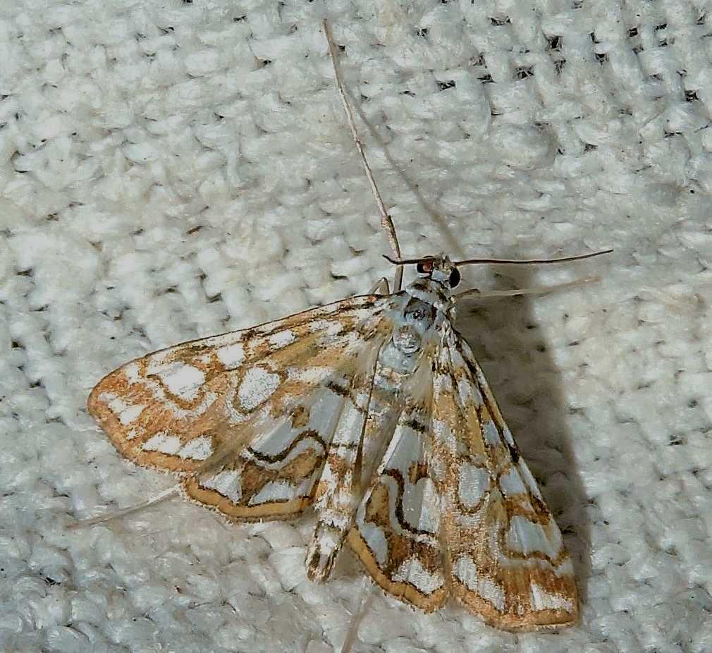 Crambidae Acentropinae Elophila nymphaeata Hydrocampe du Potamogeton