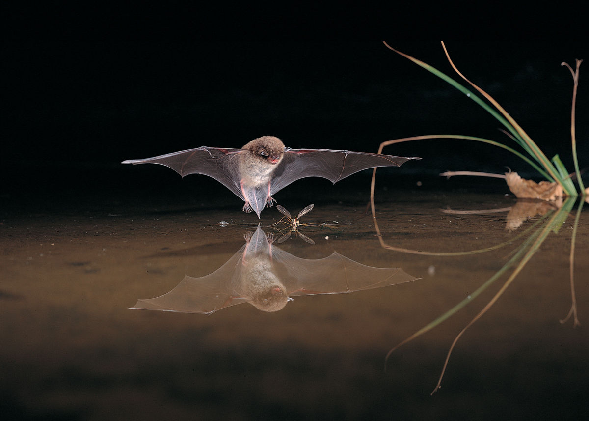 Murin de Daubenton (Myotis daubentonii) pêchant à la surface de l'eau – D. Nill (Natagora)