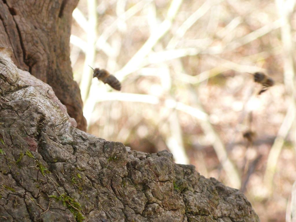 Abeilles mellifères entrant dans un arbre creux © Vincent Alboui