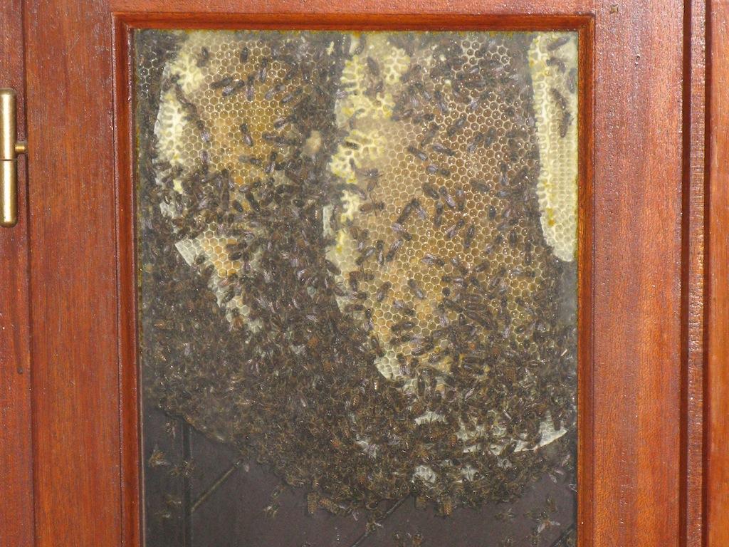 Colonie d'abeilles mellifères logée entre volets et fenêtre à La Frédière © Vincent Alboui