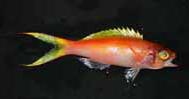 Symphysanodon pitondelafournaisei